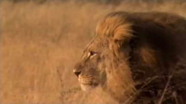 Documentary Voiceover for Lions Behaving Badly